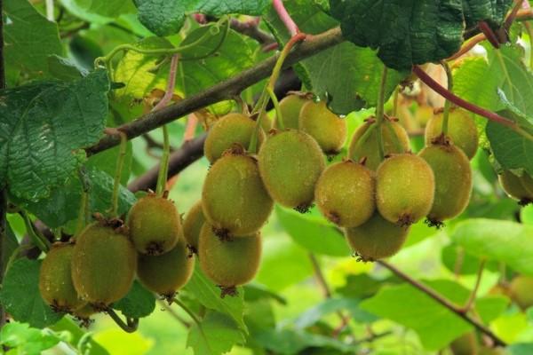 Pfälzer Kiwipflanze