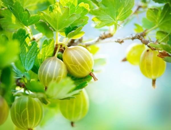 Pfälzer Stachelbeerpflanze